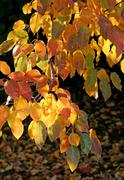 branch of autumn tree glowing in sunlight - stock photo