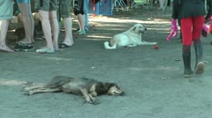 Two homeless dogs lying in the sand on the ground in Tortuguero, Costa Rica Stock Footage