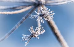 Ice crystals on the flower Stock Photos
