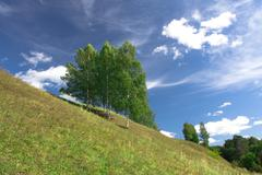 Birch trees growing on a hill Stock Photos
