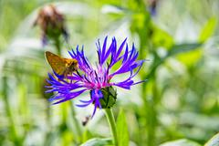the butterfly eats flower nectar - stock photo