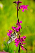 butterfly and pink flowers - stock photo