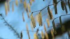 catkins  in the forest - stock footage