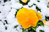 Stock Photo of flowers under snow