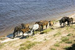 Grazed on river bank herd of horses Stock Photos