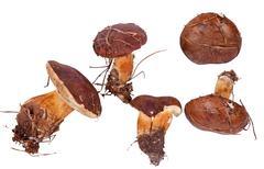 Xerocomus badius mushrooms isolated on white Stock Photos