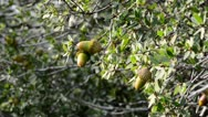 Stock Video Footage of Acorns in a wind