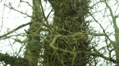 Honey locust plant 2 Stock Footage