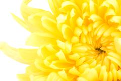 Beautiful yellow flower isolated on white background Stock Photos