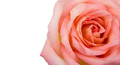 Beautiful pink rose  isolated on white background Stock Photos