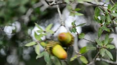 Two acorns Stock Footage