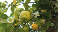 Stock Video Footage of Lemon Tree