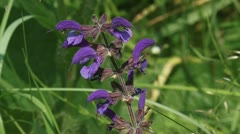 Meadow Clary,  Meadow Sage (Salvia pratensis) close up Stock Footage