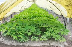 Ginseng greenhouses Stock Photos