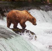 Karhu Alaska Kuvituskuvat
