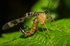 Scorpion fly Stock Photos