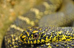 Head of a black and yellow snake Stock Photos