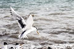 sea gull in australia - stock photo