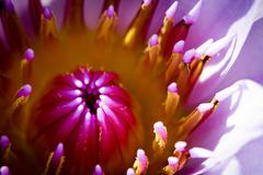 Beautiful blossom purple lotus with yellow pollen Stock Photos