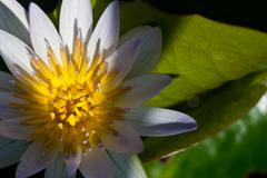 beautiful blossom purple lotus with yellow pollen - stock photo