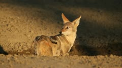 Black-backed Jackal Stock Footage