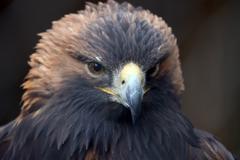golden eagle (aquila crysaetos) - stock photo