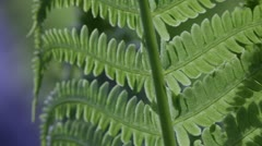 Ostrich fern leaf moving in spring breeze  - stock footage