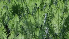 Unfolding ferns in spring - stock footage