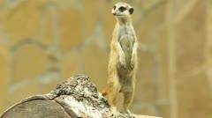 Meerkat. Stock Footage
