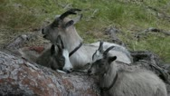 Goat with two kids grooming themselves Stock Footage