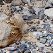 lizard on a rock - stock photo