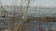 Common Goldeneye courtship display with watching female Stock Footage