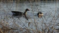 Graylag geese couple in early spring - stock footage