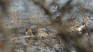Stock Video Footage of Graylag geese couple in early spring