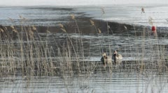 Graylag geese couple in early spring Stock Footage