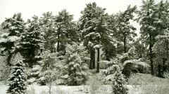 Conifers Covered in Snow - stock footage