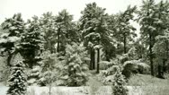 Conifers Covered in Snow Stock Footage