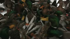 Mallards fighting for food in the winter Stock Footage