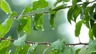 Stock Video Footage of rain drops on green leaves