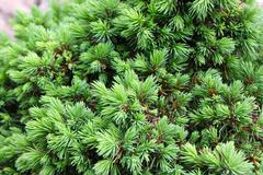 "Close-up of spruce Picea glauca f. ""Alberta Globe"" in the garden - stock photo"