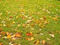 Yellow leaves on the autumn lawn - stock photo