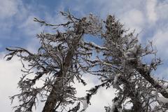 Dead alaskan spruce Stock Photos