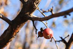 Lonely apple on the tree at cold autumn Stock Photos