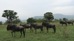 blue wildebeests in african vegetation - stock photo