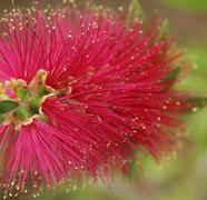 calliandra - stock photo