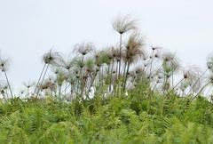 Stock Photo of papyrus plants near lake victoria