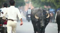 Indian Buffalos. Stock Footage