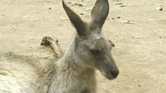 Medium close-up of a grey kangaroo Stock Footage