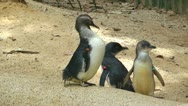 Three little fairy penguins cleaning their bodies Stock Footage