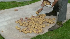 Senior woman hands gather harvest natural potatos cook Stock Footage